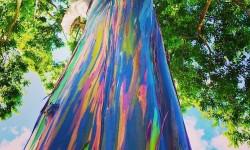 Arbre deglupta, l'eucalyptus arc-en-ciel.